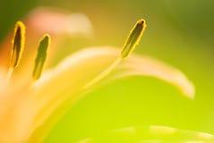 тигр фото лилии конспекта близкий вверх Стоковое фото RF
