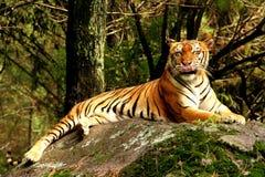 тигр хорошей еды отдыхая Стоковые Изображения