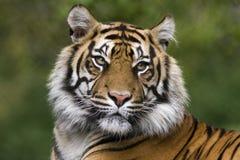 тигр Стоковые Фотографии RF