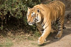 тигр 2 Бенгалия Стоковые Изображения