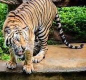 Тигр Стоковая Фотография