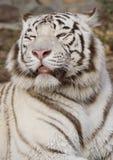 Тигр. Стоковая Фотография