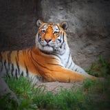 Тигр. Стоковое Фото