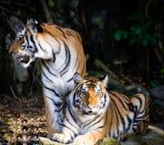 Тигр 2 стоковое фото rf