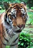Тигр Стоковое Изображение