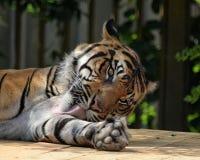 Тигр Стоковые Фото