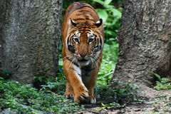 Тигр Стоковые Изображения RF