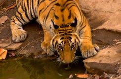 тигр 5 Бенгалия королевский Стоковые Фото
