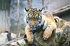 Тигр Стоковое Изображение RF