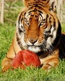 тигр 6483 Стоковое Изображение