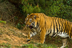 тигр Стоковое Фото