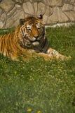 тигр Стоковое фото RF