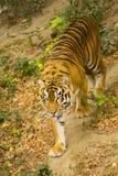 тигр amur Стоковые Изображения RF