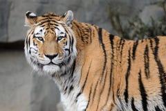 тигр amur Стоковая Фотография