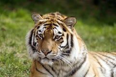 тигр amur Стоковая Фотография RF
