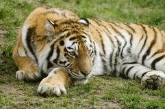 тигр amur Стоковое Изображение