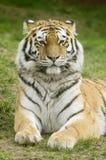 тигр amur Стоковое фото RF