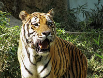 тигр amur Стоковые Фотографии RF