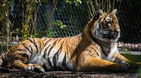 Тигр Bengel Стоковое Изображение RF