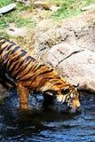 Тигр Cub Стоковые Изображения