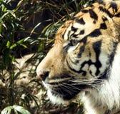 тигр greenery ptofile стоковое фото rf