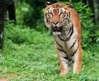 тигр java Стоковые Изображения RF