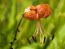 тигр lillies Стоковые Изображения