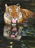 тигр o4 стоковая фотография rf