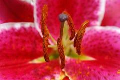 тигр pistils лилии розовый Стоковое фото RF