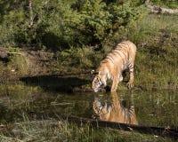 Тигр Reflectioin Стоковые Фотографии RF
