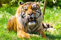 Тигр Sumatran отдыхая на траве Стоковое Изображение RF