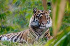 Тигр Sumatran отдыхая в траве Стоковая Фотография RF