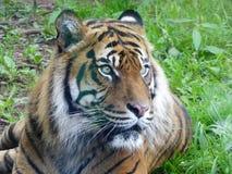 Тигр Sumatran смотря вне на мире стоковое изображение rf