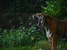 Тигр Sumatran стоковые изображения
