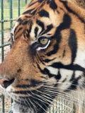 Тигр Sumatran стоковая фотография