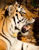 Тигр Sumatran Стоковое Фото