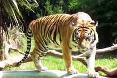 тигр sumatran Стоковые Фотографии RF