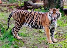 Тигр Sumatran Стоковые Фото