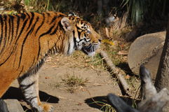 Тигр, Sumatran Стоковое Изображение RF