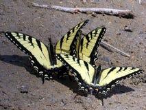 Тигр Swallowtail апрель 2016 Потомак 3 восточный Стоковые Изображения