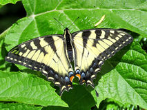 Тигр Swallowtail Стоковые Фотографии RF