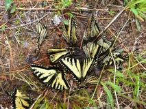 тигр swallowtails papilio glaucus Стоковое Изображение