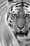 тигр tigris panthera altaica siberian Стоковое фото RF