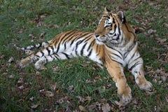 Тигр Ussurian Стоковое Изображение RF