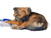 Тикание и блоха чистки собственной личности щенка изолированные на белой предпосылке Стоковые Фото