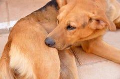Тикание и блохи собаки сдерживая стоковая фотография