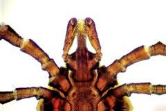 Тикание фасоли рицинуса - ricinus Ixodes Стоковое фото RF