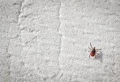 Тикание Taiga вползая на белой пене Тикание - несущая опасных заболеваний стоковые изображения rf