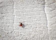 Тикание Taiga вползая на белой пене Тикание - несущая опасных заболеваний стоковая фотография rf