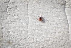 Тикание Taiga вползая на белой пене Тикание - несущая опасных заболеваний стоковая фотография